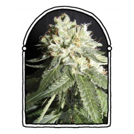 The Kush Brothers - OG Cheese (1f)