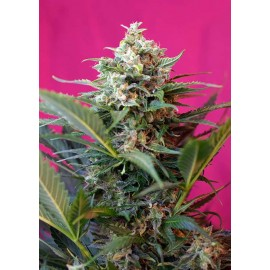 Sweet Seeds - Auto Big Devil XL (3+1 promo)