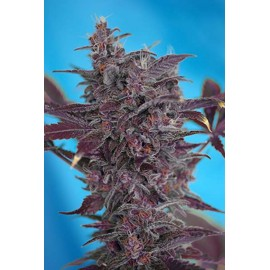 Sweet Seeds - Black Cream Auto (3+1 promo)