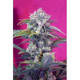 Sweet Seeds - Cream Mandarine Auto (5+2 promo)