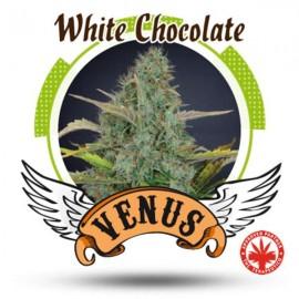 Venus Genetics - White Chocolate (3f)