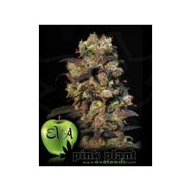 Eva Female Seeds - Pink Plant (3f)