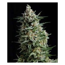 Pyramid Seeds - Anesthesia (1f)