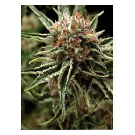 Pyramid Seeds - Shark  (1f)