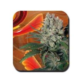 Buddha Seeds - Blister Syrup (10f)