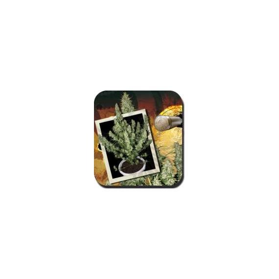 Buddha Seeds - Blister Magnum (10f)