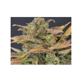 CBD Seeds - Auto Critical (6f)
