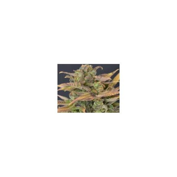 CBD Seeds - Auto Critical (6f)