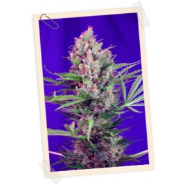 Sweet Seeds - Cream Mandarine Fast Version (3+1 promo)