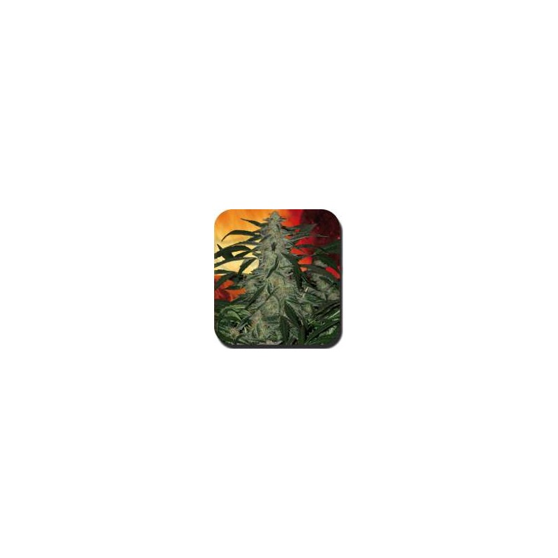 Buddha Seeds - Deimos (Autoflo) (5f)  **