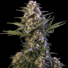 Buddha Seeds - Blister Kraken (10f)