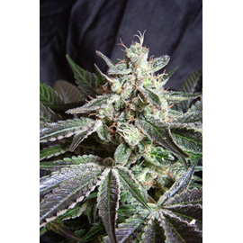 Sweet Seeds - Black Jack (3+1 promo)^